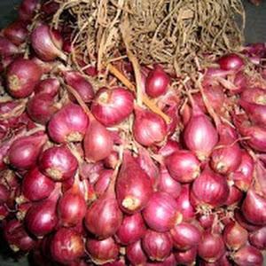 Bawang Merah Bima Brebes